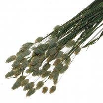 Gedroogde Phalaris Naturel, 25cm