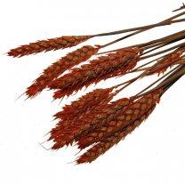 Triticum, Oranje tarwe, bundeltje van 10 stelen