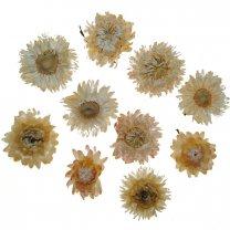 Gedroogde Helichrysum creme, losse bloemen, 10 stuks