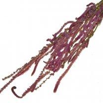 Statice Suworowii roze, 60cm