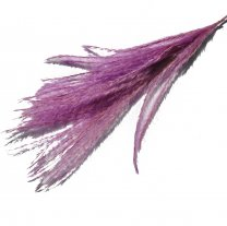 Stipa Feather Lila