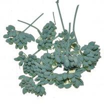 Venkelbloemen mintgroen, 10 stuks