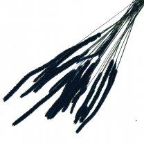 Phleum Pratensis Kobaltblauw