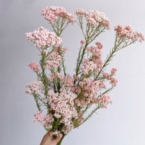 Rice Flower roze, 65cm
