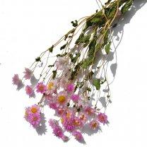 Rodanthe roze, 45cm
