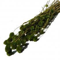 Gedroogde Phalaris Groen, 50cm