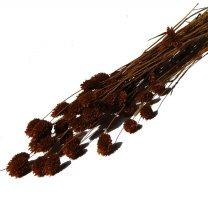 Gedroogde Phalaris Chocolade bruin, 50cm