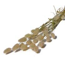 Hazenstaartjes, Lagurus Naturel