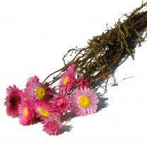 Acroclinium nat. roze, 35cm