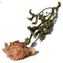 Pioenroos roze, 55cm