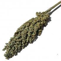 Sorghum kafferkoren, pastel groen, 65cm