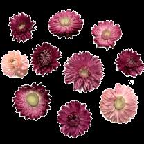 Gedroogde Helichrysum Cherise-roze, losse bloemen, 10 stuks
