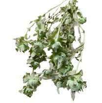 Gedroogde Carthamus Pastel groen , 50cm