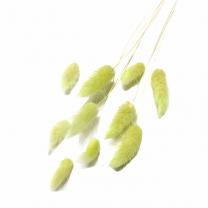 Hazenstaartjes, Lagurus Pastel lichtgroengroen