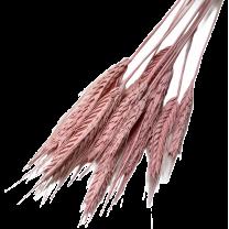 Triticum, Pink Beard, 20 stelen
