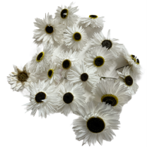 Acroclinium witte bloemetjes, 20 stuks