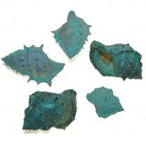 Turqouise Chimman schelpen, 5 stuks
