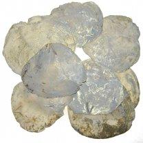 Capiz shell met gouden accenten, 10 stuks, 10cm