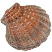 Pecten Subnodosus, 14cm