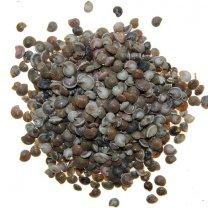 Umbonium white, beige-bruin zand kleur, 100 gram