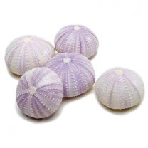 Zee-egels violet, 5 stuks
