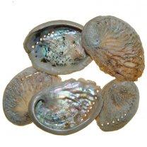 Abalone medium, 5 stuks