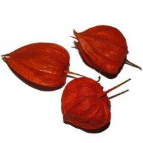 Gedroogde physalis, lampionnenbloemen, 3 stuks
