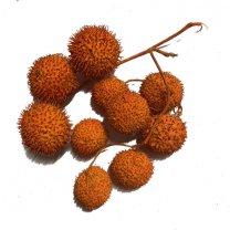 Plataanballetjes oranje