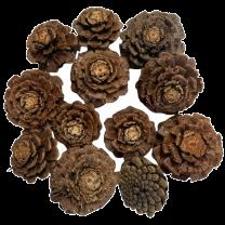Pinus Nigra Rose, 5-8cm, 12 stuks