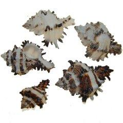 Schelpen murex 5 stuks, 5cm