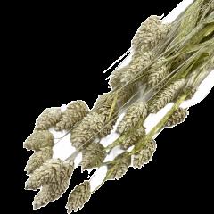 Gedroogde Phalaris White-wash, 45cm