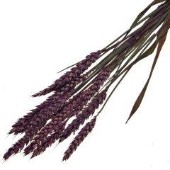 Triticum, Tarwe Lilac, 10 stelen