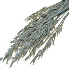 Haver, Avena white-wash, bundeltje van 10 stelen