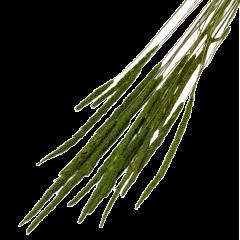 Phleum Pratensis Groen