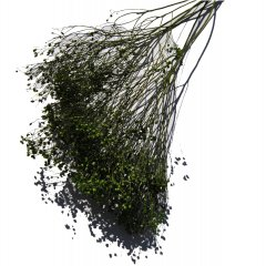Broom bloom Jade groen, korte takken, 25cm