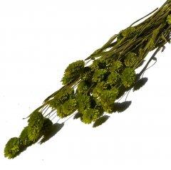 Gedroogde Phalaris olijfgroen , 50cm