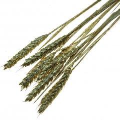 Triticum, Gouden tarwe, 10 stelen