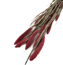 Gedroogde Setaria Roze , 60cm