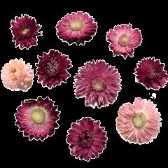 Gedroogde Helichrysum Cherise-roze, losse bloemen, 15 stuks
