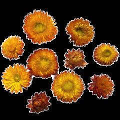Helichrysum, grote felle oranje gele gedroogde bloemen, 10 stuks