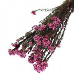 Rice flower Fuchsia**