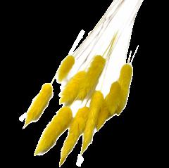 Hazenstaartjes, Lagurus Ei-geel