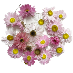 Acroclinium roze bloemetjes, 20 stuks