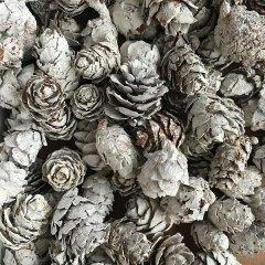 Dennenappeltjes, baby spruce white-wash, 2-3cm, 50 gram