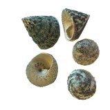 Troca Maculata green, 100 gram