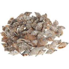 Mitra Strombus Urcues, 4cm,  100 gram