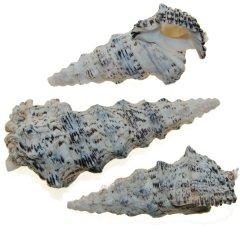 Ceritilium nodulosum, 3 stuks, 9cm