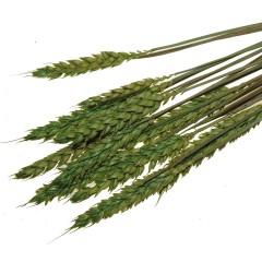 Triticum, Appelgroene tarwe,  bundeltje van 10 stelen