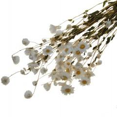 Acroclinium nat. white, 35cm