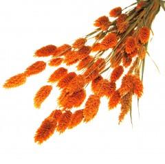 Gedroogde Licht oranje Phalaris , 55cm